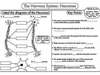 Gcse bundle on the nervous system by beckystoke teaching resources gcse worksheets on the nervous system ccuart Choice Image