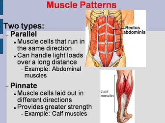 Muscle Shapes and Structure PowerPoint and Worksheet