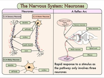 Colour Poster on the Nervous System: Neurones and the Reflex Arc