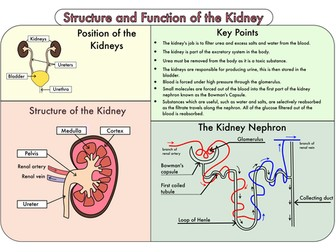Colour Poster on the Structure and Function of the Kidney
