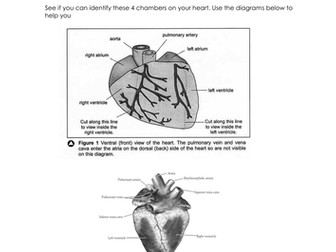 Pig heart dissection instructions included worksheet by pig heart dissection instructions included worksheet by teachershelly teaching resources tes ccuart Images
