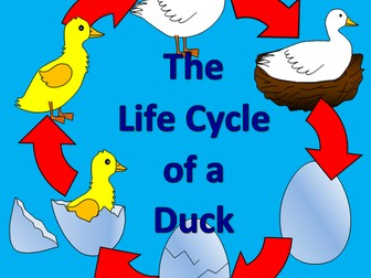 The Life Cycle of a Duck - Spring, duckling