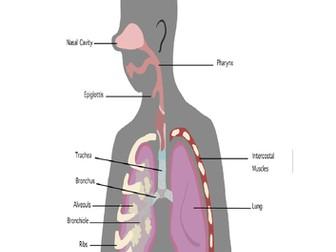 Diagram of the respiratory system for gcse pe by katiebonsor diagram of the respiratory system for gcse pe ccuart Choice Image
