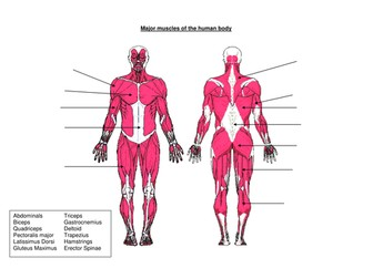 Muscles Worksheet