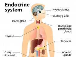 Endocrine glands info sheet by wildcard691982 teaching endocrine glands info sheet ccuart Gallery