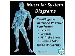 Muscular System Diagrams: Study, Label, Quiz & Color