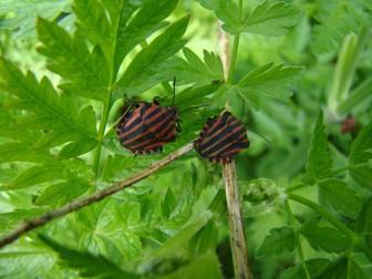 Minibeasts: Shield Bugs