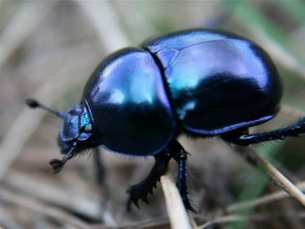 Minibeasts: Beetles