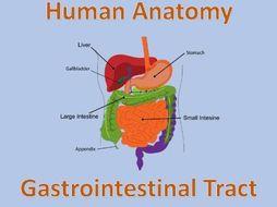 Human Anatomy Quiz: Gastrointestinal Tract