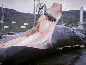 Sustainable Whaling in the Arctic