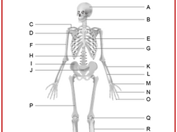 the skeletal system worksheet - Skeletal System Worksheet