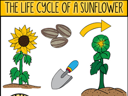 The Life Cycle of A Sunflower Clip Art