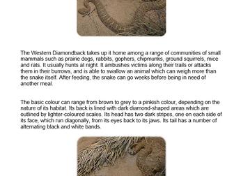 Western Diamondback (snake)
