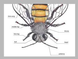 HONEY BEE ANATOMY / Editable Watercolor Bees / Homeschool Printable / Insect