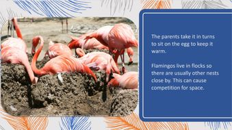 The-life-cycle-of-a-flamingo.pptx