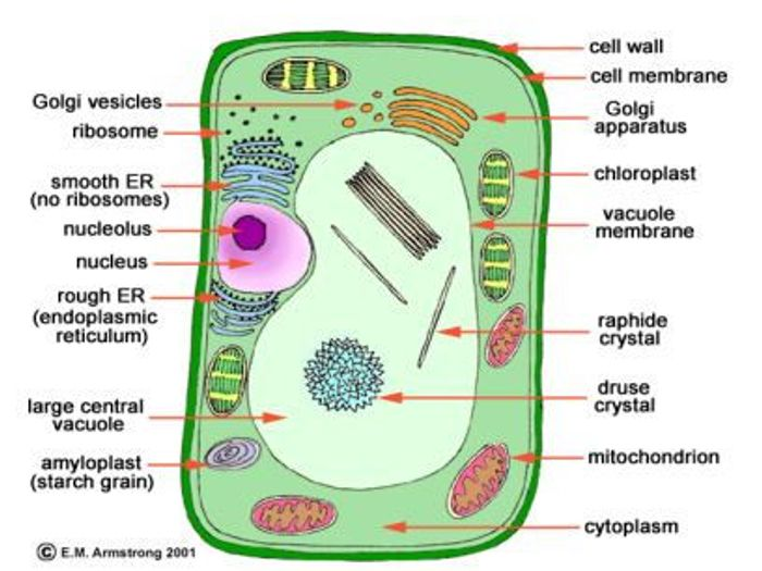 8th Grade Plant Cell Diagram Plant Cell And Animal Cell Diagram