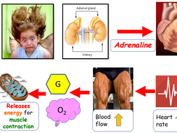 Endocrine glands, adrenaline and thyroxine powerpoint and worksheets