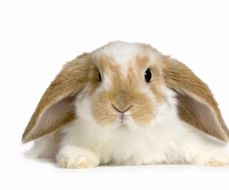 Rabbit Research Project