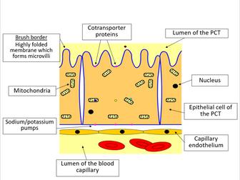 Selective reabsorption (AQA A-level Biology)