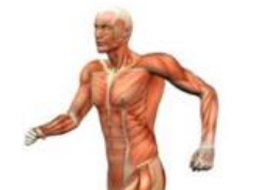 The Muscular System - Worksheet