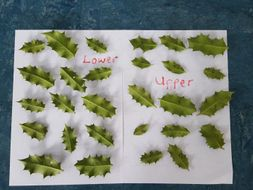 Holly Leaf Prickles - Standard Deviation and T-test on real data .