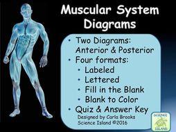 Muscular System Diagrams Study Label Quiz Color