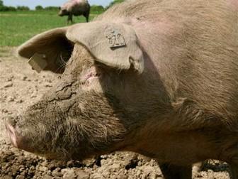 Pigs: Animals, Food, Farming