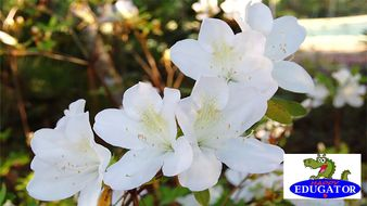 Dollar Stock Photos - Bradford Pear Tree and White Azalea Photographs