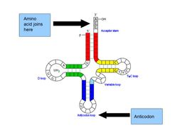 RNA & The Genetic Code -  OCR AS/A Level Biology