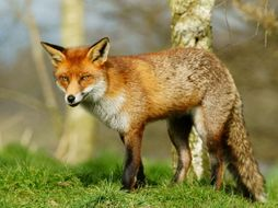 Fantastic Mr Fox Chapter 2 Formal Letter Writing Should Farmers Be Allowed To Kill Foxes Teaching Resources
