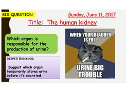 AQA new specification-The human Kidney-B12.3
