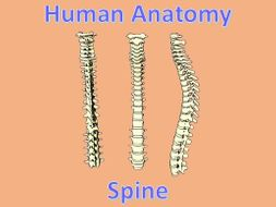 Human Anatomy Quiz: Spine
