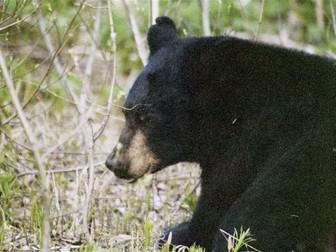 Bear: Animals