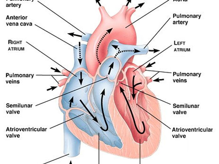 Leaving cert biology heart diagram circuit connection diagram heart biology diagram simple electronic circuits u2022 rh wiringdiagramone today heart circulation diagram heart structure diagram ccuart Image collections