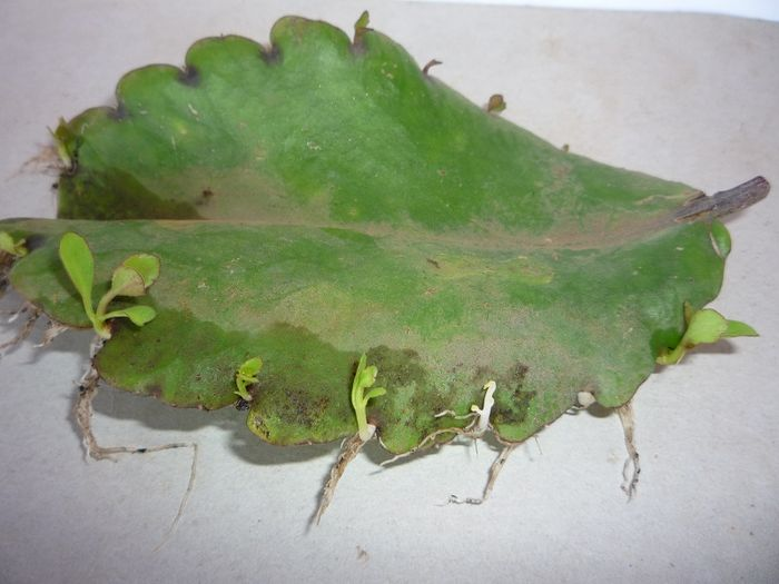 Plant cuttings asexual reproduction regeneration