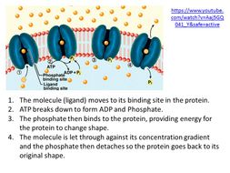 Active Transport - OCR AS/A Level Biology