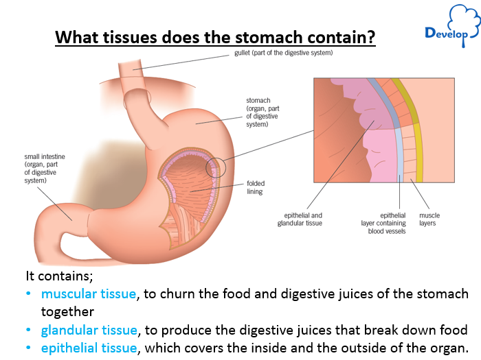 Gcse diagram of tissue in the stomach application wiring diagram b3 1 aqa tissues and organs by zfield12345 teaching resources tes rh tes com ccuart Image collections