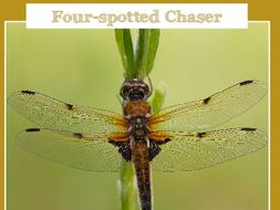 The Dragonfly Challenge - Four-spotted Chaser