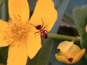 Minibeasts: Ants