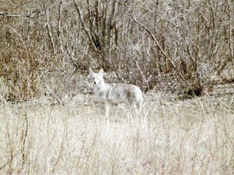 Coyote: Animals: Photo Collection (Part One)