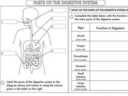 Year 4 Science: Animals, including humans- digestion, teeth and food chains worksheets