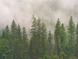 KS3-4: The pine forests under threat from fungal diseases and beetles