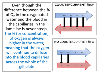 Ventilation and gas exchange in bony fish (OCR A-level Biology)