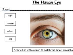 KS2 and 3 Label the Human skeleton, eye, ear and tooth (4 worksheets ...