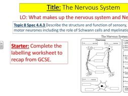 edexcel a2 biology topic 8 nervous system by lindseycc139 teaching resources tes. Black Bedroom Furniture Sets. Home Design Ideas