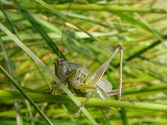 Grasshoppers and Crickets (Minibeasts)
