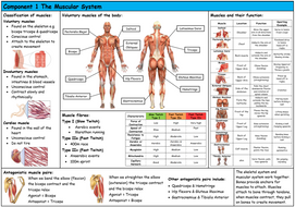 Knowledge-Organiser-Muscular-System-Pic.docx