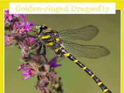 The Dragonfly Challenge - Golden-ringed Dragonfly Information Poster