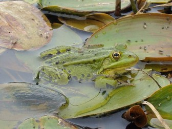 Frog: Pond Animals