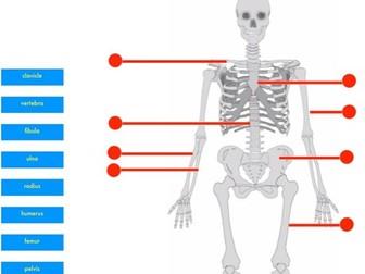 Skeleton Drag & Drop